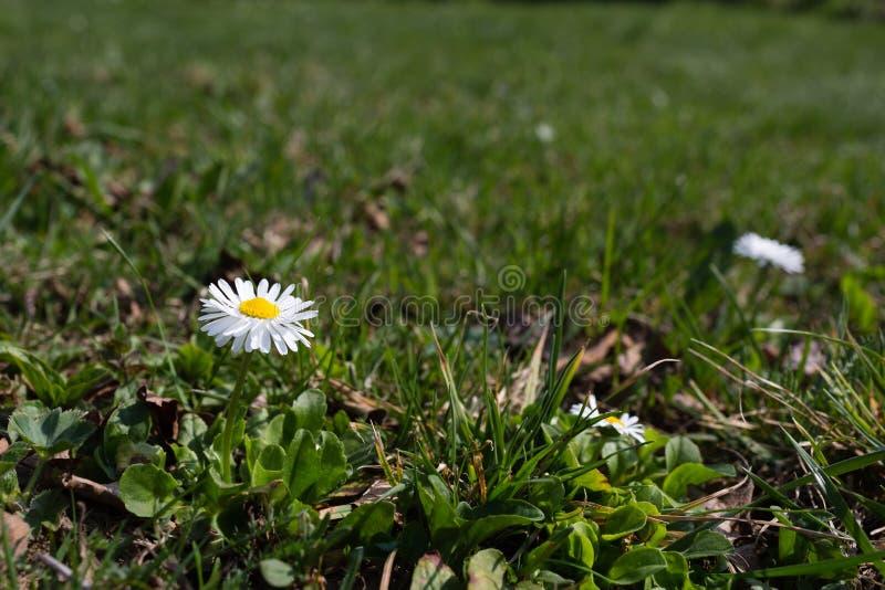 Biała stokrotka na tle zielona trawa zdjęcie royalty free
