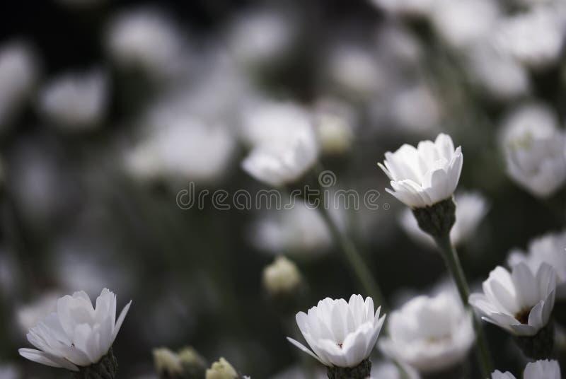 Biała stokrotka Pączkuje w lecie obrazy stock