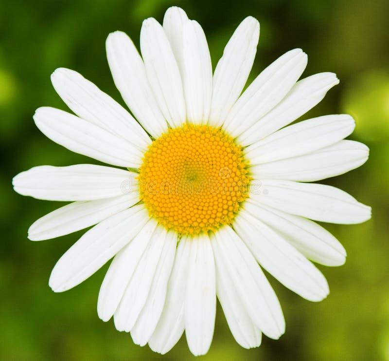 Biała stokrotka, pojedynczy kwitnący biel, tło, czysty, prosty symbol, fotografia stock