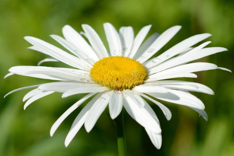 Biała stokrotka w lecie na ogródzie zdjęcie royalty free