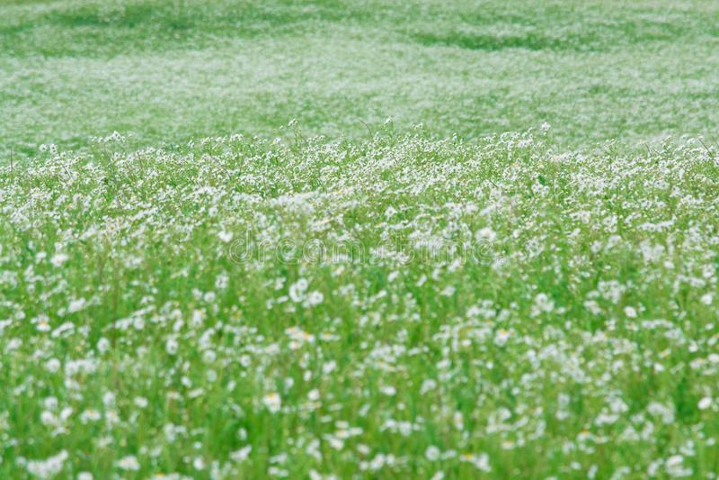 Biała stokrotka w makro- zamazujący tło Natura zdjęcie stock