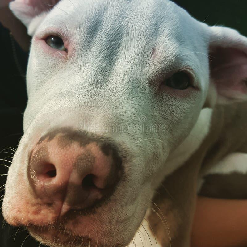 Biała szczeniaka pitbull twarz obraz stock