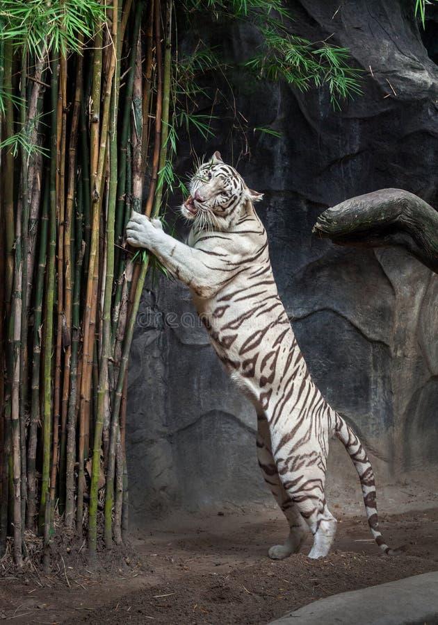 Biała Tygrysia pozycja zdjęcia stock