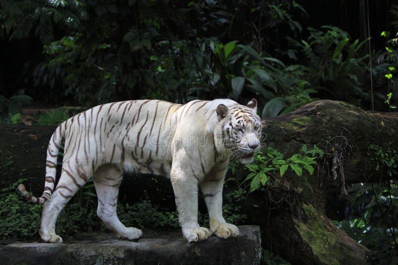Biała Tygrysia pozycja fotografia stock