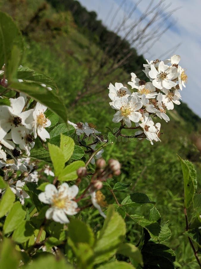 Biała walerianowa kwiat wiązka w łące zdjęcia stock