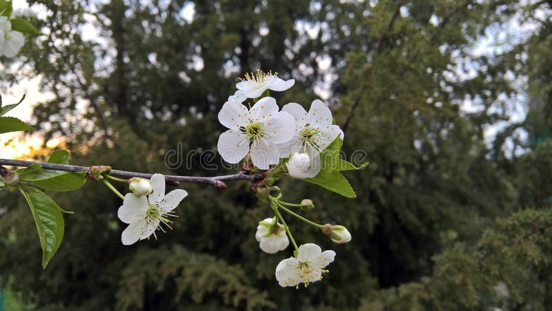 Biała wiśnia kwitnie na gałąź fotografia royalty free