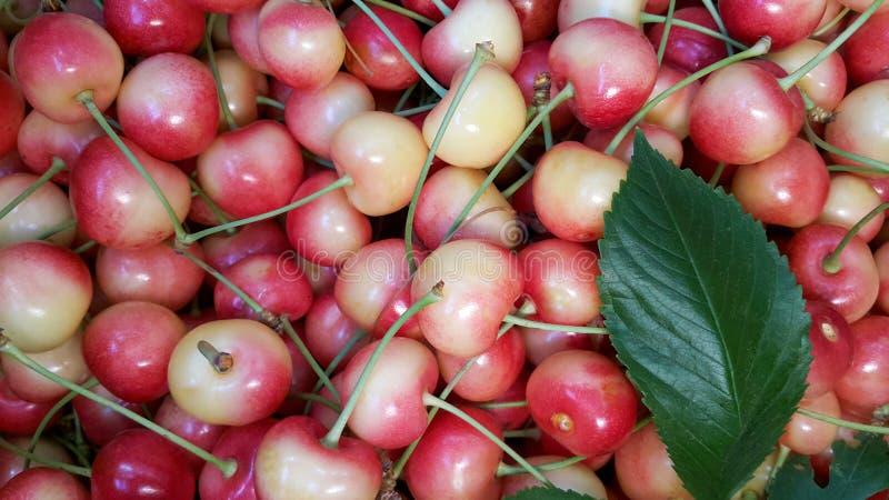 Biała wiśnia, ostatnio zbierająca świeża wiśnia, piękny tło wiśnia zdjęcie royalty free
