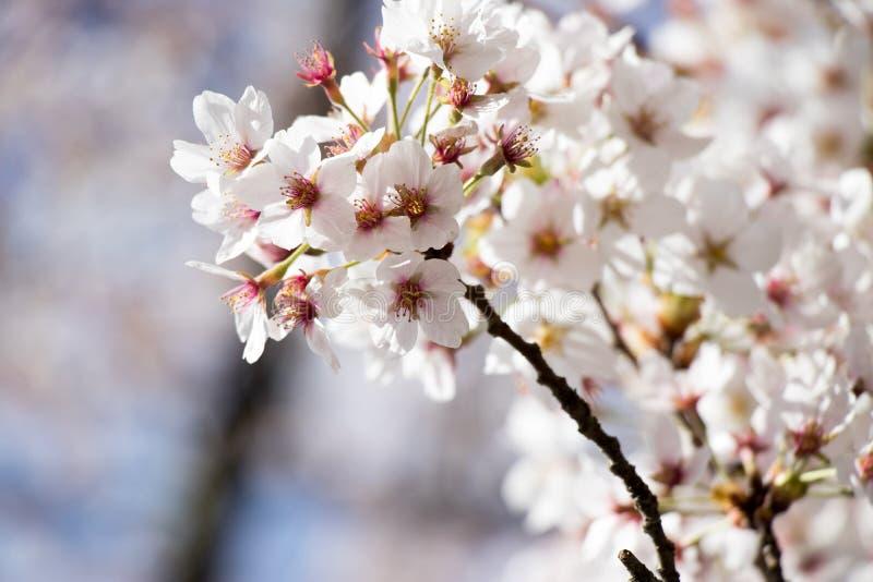 Biała wiśnia &-x28; Sakura&-x29; okwitnięcie w wiosna sezonie z niebieskiego nieba tłem obrazy royalty free
