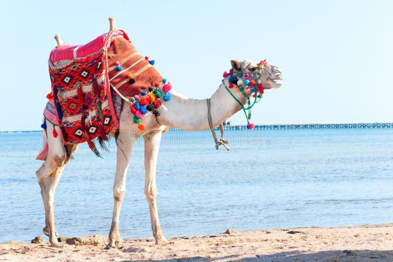 Biała wielbłądzia pozycja na Egipskiej plaży Camelus dromedarius fotografia royalty free
