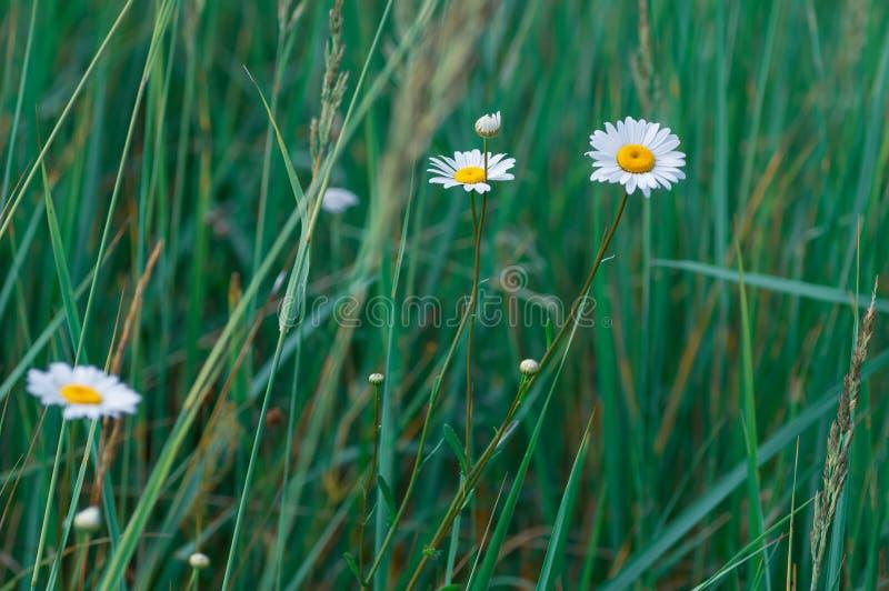 Biała wielka stokrotka kwitnie na tle zielona trawa Selekcyjna ostro?? Lata t?o zdjęcie stock