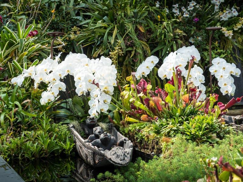 Biała Wodna orchidea w ogródzie obrazy stock