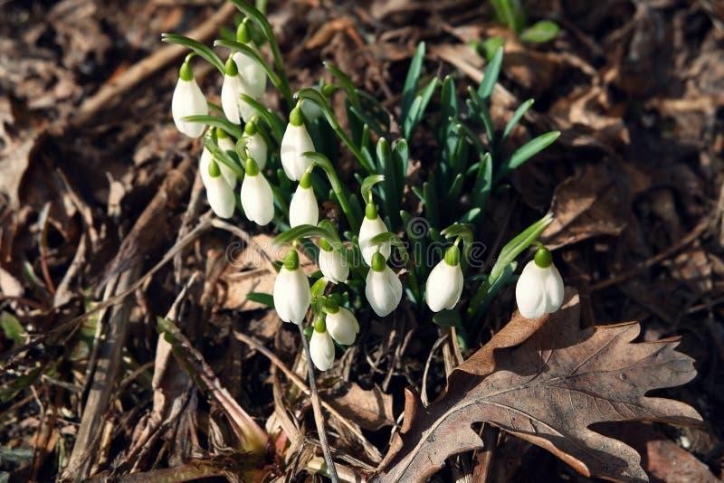 białe śnieżyczki wśród suchych liści fotografia stock