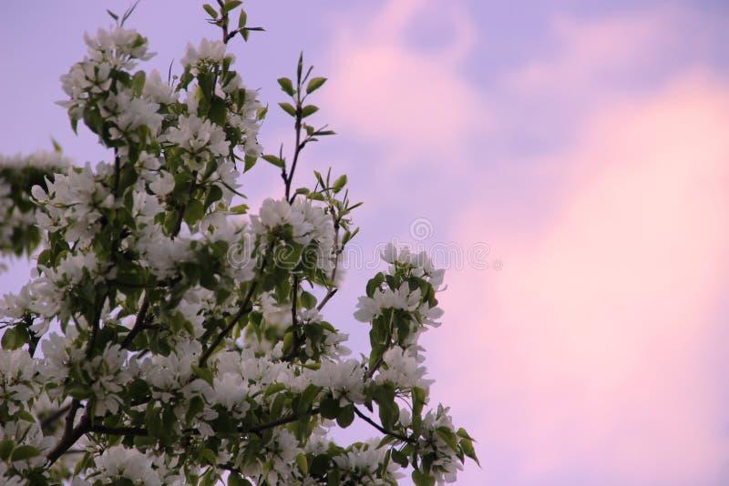 Białe bonkrety kwitną przeciw różowemu zmierzchowi na błękitnym wiosny niebie zdjęcia stock