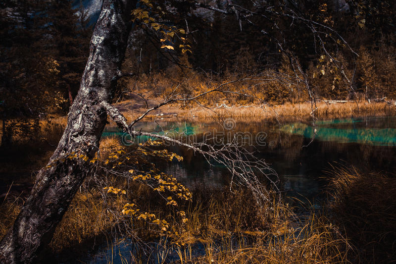 Białe brzozy w jesieni dekoraci na lake& x27; s brzeg, fotografia stock