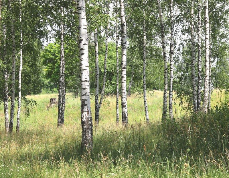 Białe brzozy w lecie w brzoza gaju zdjęcie stock