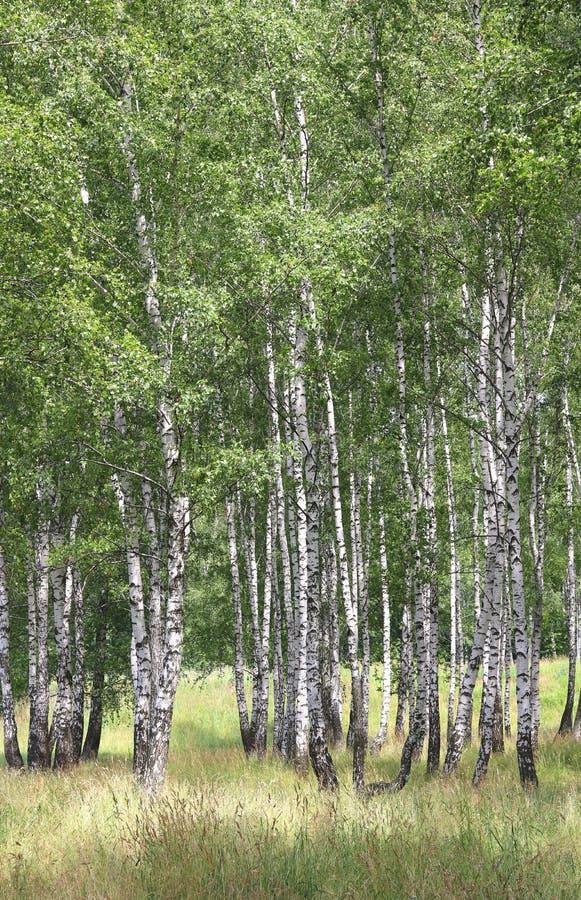 Białe brzozy w lecie w brzoza gaju zdjęcia royalty free