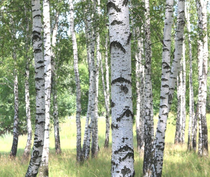 Białe brzozy w lecie w brzoza gaju obrazy stock