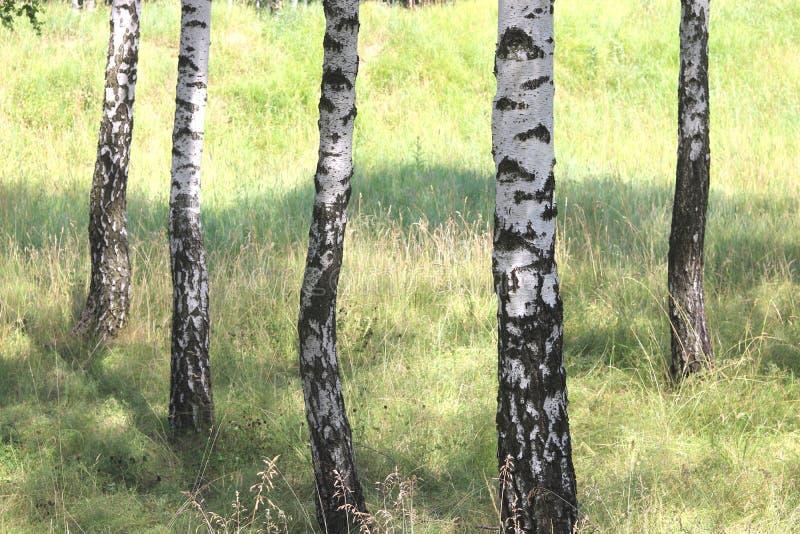 Białe brzozy w lecie w brzoza gaju zdjęcia stock