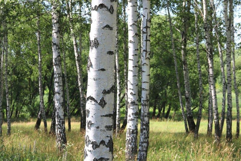 Białe brzozy w lecie w brzoza gaju zdjęcie royalty free