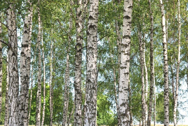Białe brzozy w lecie w brzoza gaju fotografia royalty free