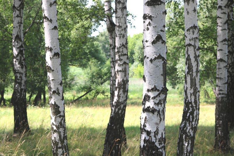 Białe brzozy w lecie w brzoza gaju obraz stock