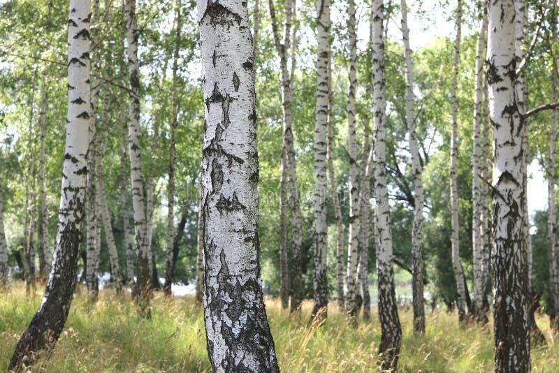 Białe brzozy w lecie w brzoza gaju obrazy royalty free