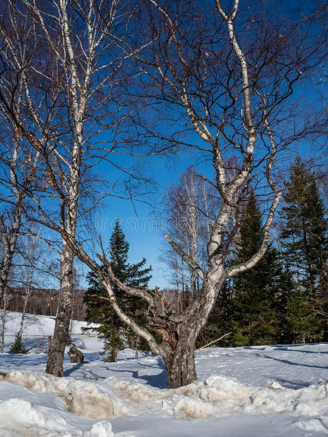 Białe brzozy w zima lesie na tle jaskrawy niebieskie niebo z chmurami w Altai, Rosja obrazy royalty free