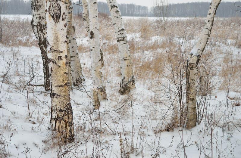 Białe brzozy w zimy polu obrazy royalty free