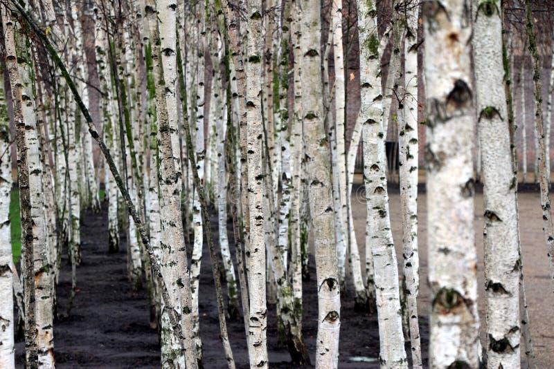 białe drzewo obrazy stock