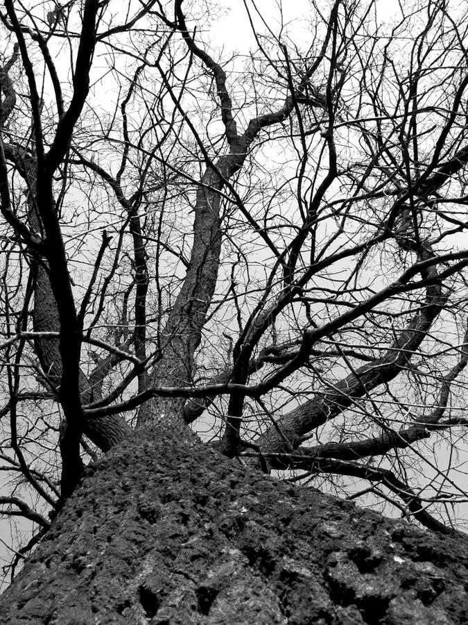 białe drzewo, czarny obraz stock