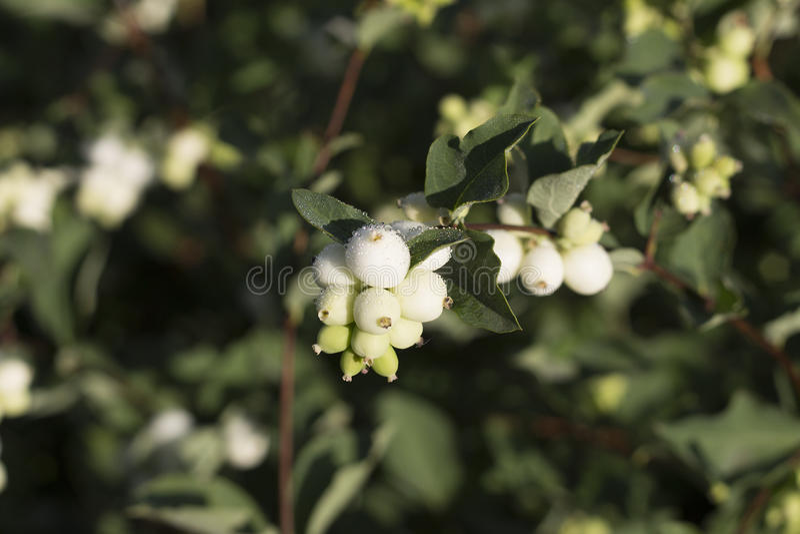 Białe jagody zdjęcie stock