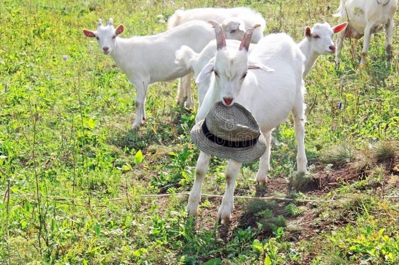 Białe kózki je trawy na polu Paśnik zdjęcie royalty free