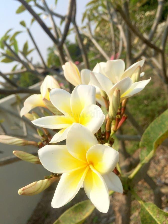 białe kwiaty żółty obraz stock