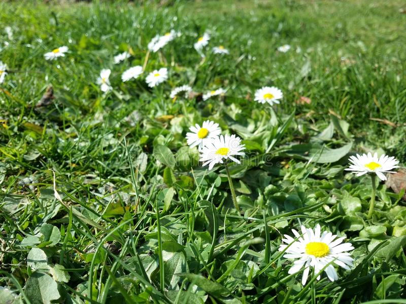 białe kwiaty żółty fotografia stock