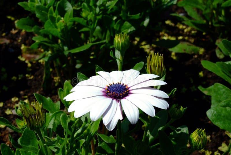 białe kwiaty obraz royalty free