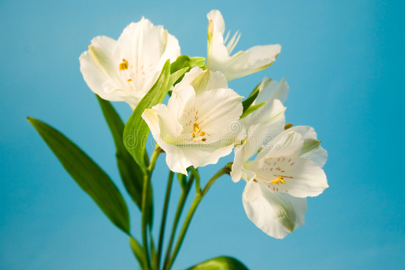 białe kwiaty alstroemeria zdjęcie stock