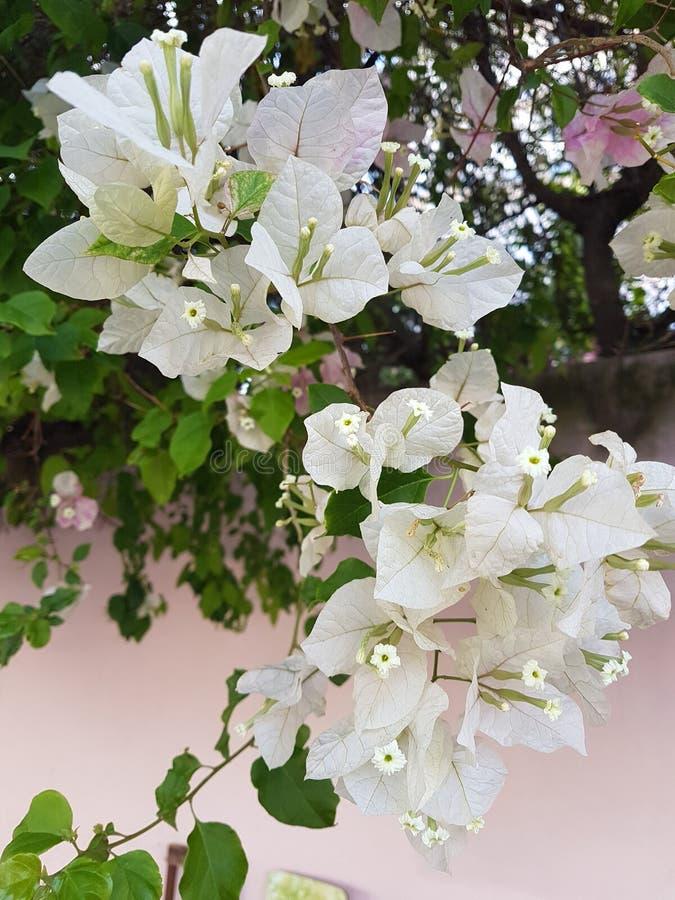 Białe kwiaty bugainvillea zdjęcia royalty free