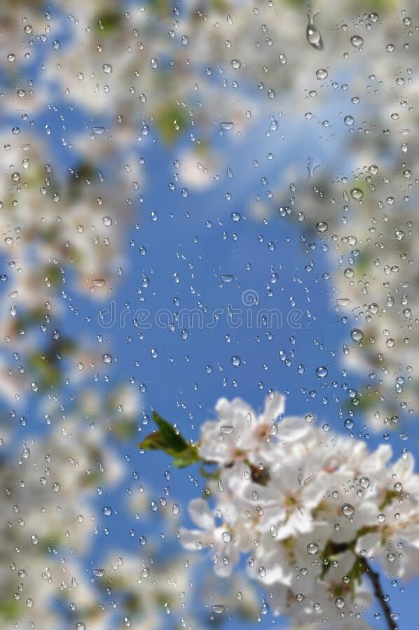 Białe kwiaty do wiśni zdjęcie royalty free