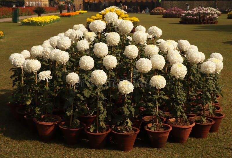 Białe kwiaty kwitną w Chandigarh zdjęcie stock