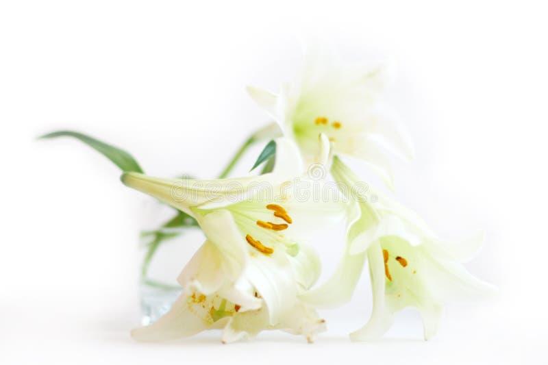 białe lilie zdjęcia stock