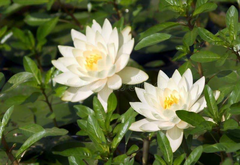 białe lilie wodach. zdjęcia royalty free