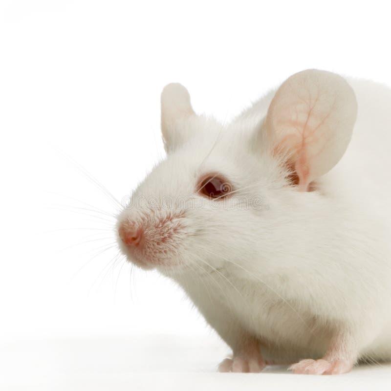 białe myszy zdjęcie royalty free