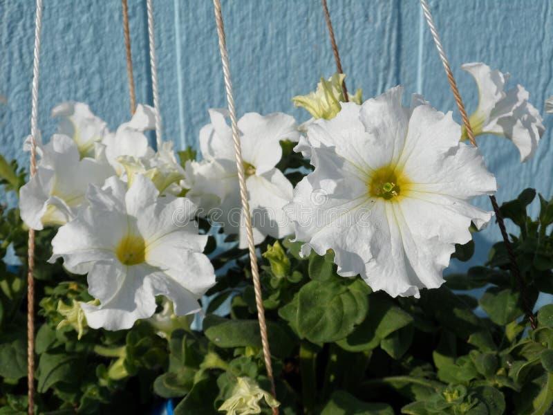 Białe napuszone petunie fotografia stock