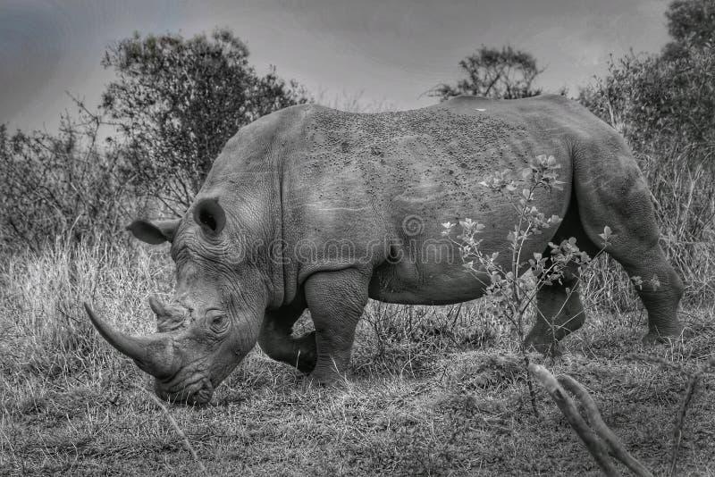 Białe nosorożce w Parku Narodowym Kruger fotografia royalty free