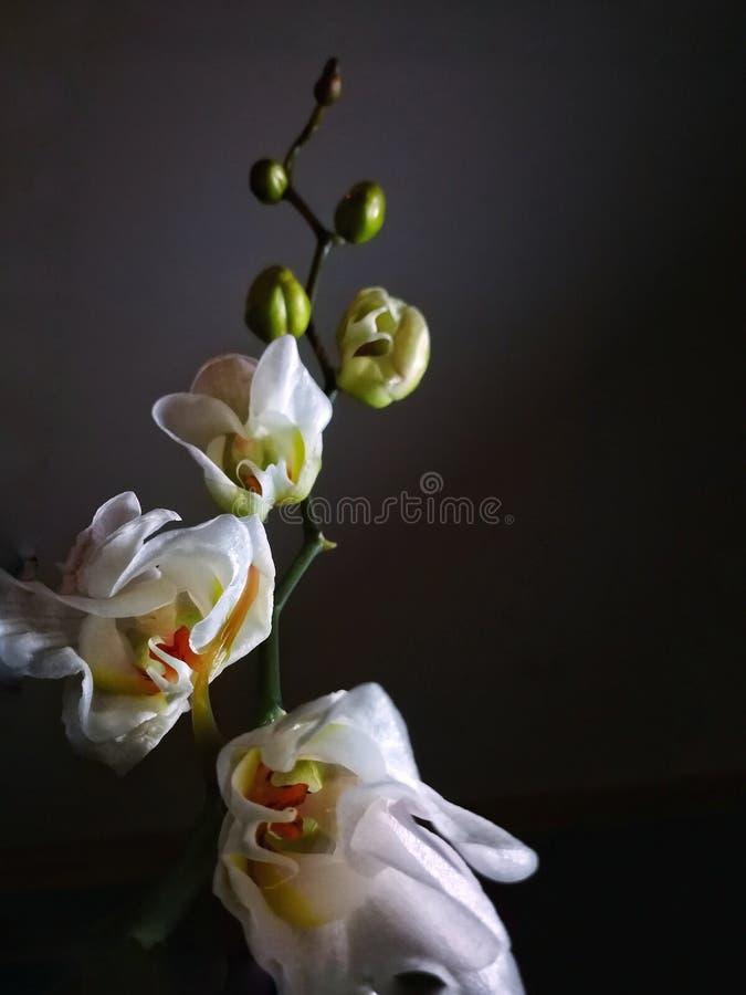 białe orchidee zdjęcie stock