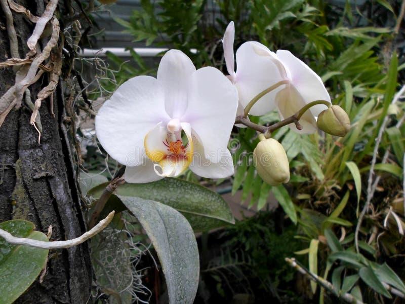 Białe orchidee, biali kwiaty, egzot kwitną obrazy royalty free