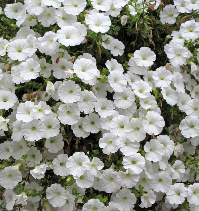 Białe petunie obraz stock
