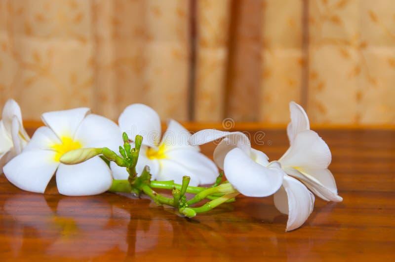 Białe Plumeria Pudica flory zdjęcia stock