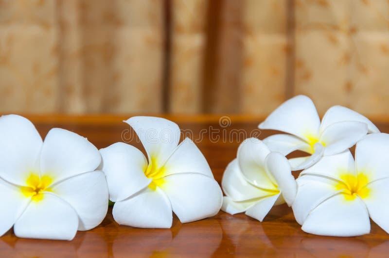 Białe Plumeria Pudica flory zdjęcie stock