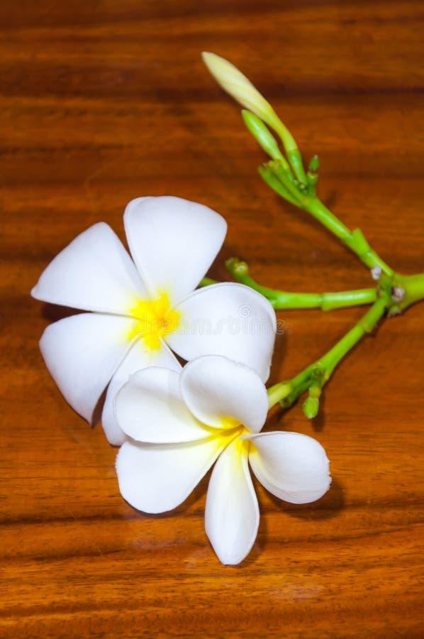 Białe Plumeria Pudica flory fotografia stock